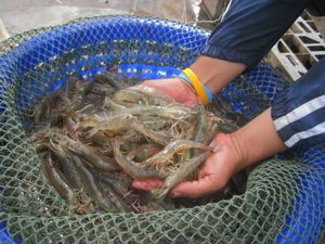 Shrimp farming guide for How much does it cost to get a fishing license